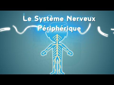 Comprendre le système nerveux périphérique